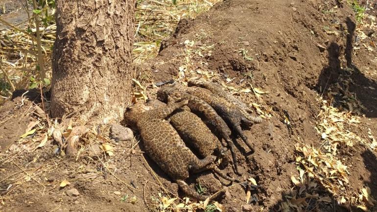 పాము కోసం నిప్పు పెడితే చిరుత పులులు సజీవదహనం